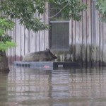 A feral hog on top of an air conditioning unit during a flood at a Mississippi wildlife refuge. Wild pigs have recently worked their way into Jean Lafitte National Park's Barataria Preserve in Louisiana, and are wreaking havoc.