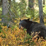 File image of black bear peering out from the brush.