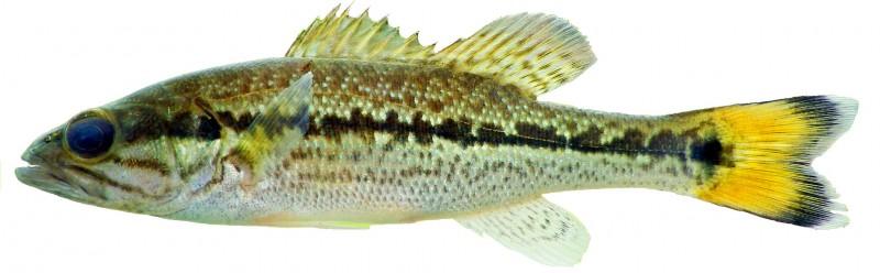 choctaw bass