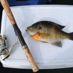 Even big Michigan bluegills get shallow pre-spawn.