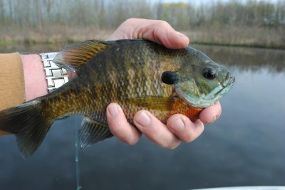 Hand-sized bluegills can be taken in water just deep enough to cover their backs.