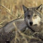 There are now roughly 6,000 gray wolves in the lower 48 states.