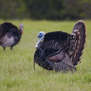 Texas gobblers have bigger concerns than finding a female - or your decoy.