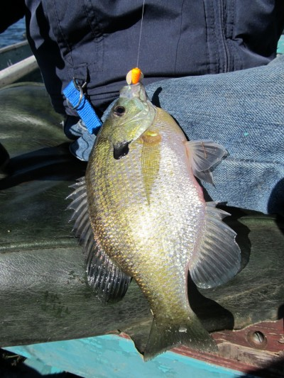A Spin-N-Glo in front of a hook baited with a couple of waxworms and trolled is hard for bluegills to resist.
