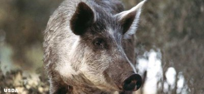 Feral swine and wild boars continue to plague Pennsylvania, but the Department of Agriculture promises strict new regulations for hog hunting preserves.