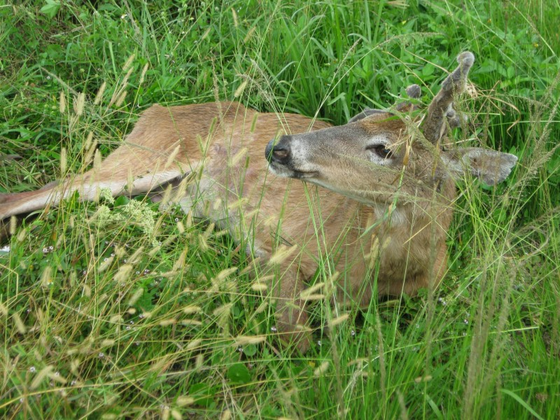 While sitting on the grass, the relieved deer gives its rescuers a smile.