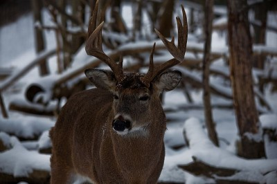 During winter, whitetails conserve energy and eat less, surviving on fat built up during the summer.