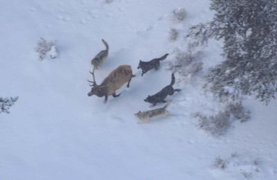 Elk migrating further into Yellowstone are met with wolves, bears, and poor habitat.