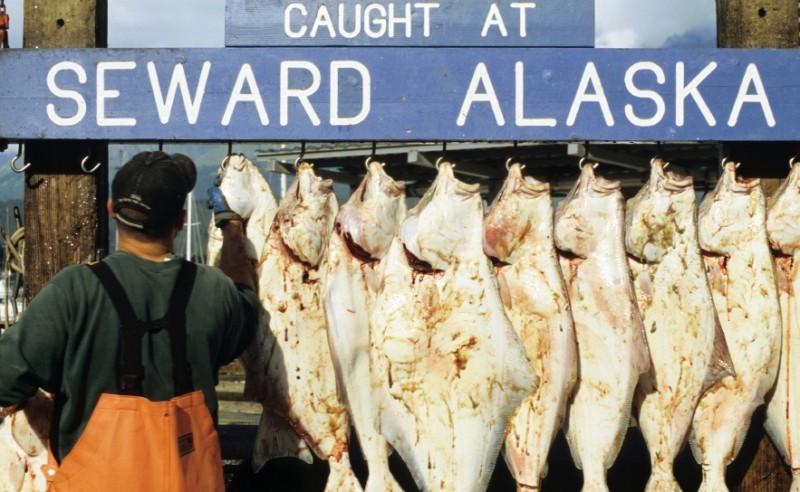 A selection of halibut caught at Seward, Alaska.