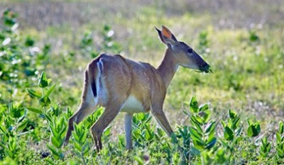 Approximately 940 leftover Kansas nonresident white-tailed deer permits are still available.