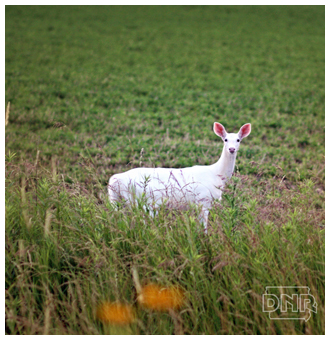 An image of the albino deer that has been repeatedly sighted near an Iowa state park.