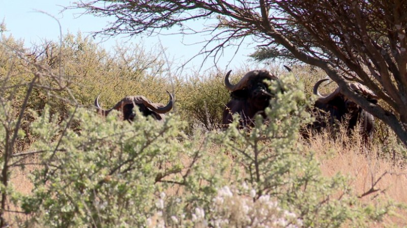 "Africa's Cape buffalo have been dubbed the ""Black Death"" by those who have borne witness to their awesome power."