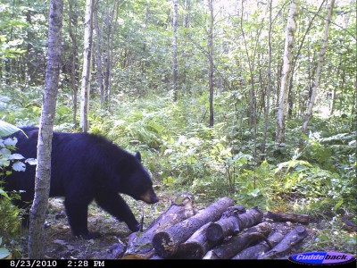 To get a nice bear at your bait during the daylight takes work. It starts with choosing a great area to hunt and then narrowing it down to just the right spot.