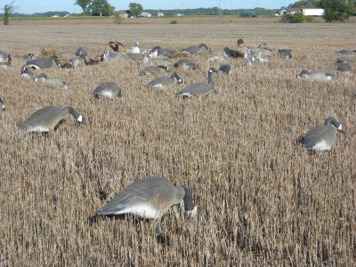 Well-placed decoys and layout blinds covered with vegetation are keys to early-season goose success.