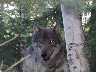 A survey conducted in 2008 pegged Minnesota's wolf population at 2,921 animals. According to the state's Department of Natural Resources, there has been no significant change in poulation over the last 10 years, signifying a full recovery.