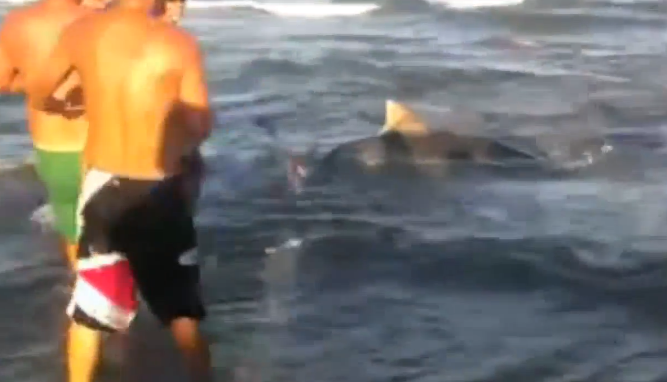 Texas angler reels in 11 foot tiger shark from shore for Shark fishing from shore
