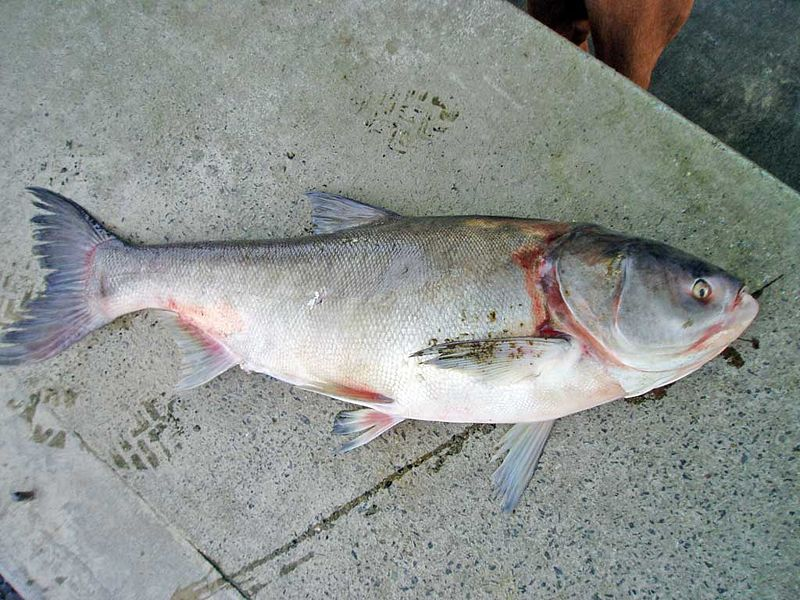 A silver carp. Silver carp are one of the fish species commonly referred to as Asian carp.
