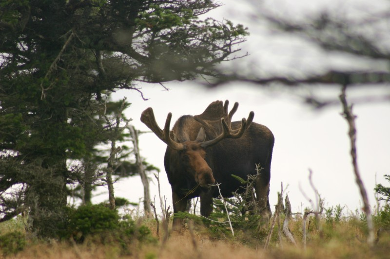 The New Hampshire moose population is on the decline.