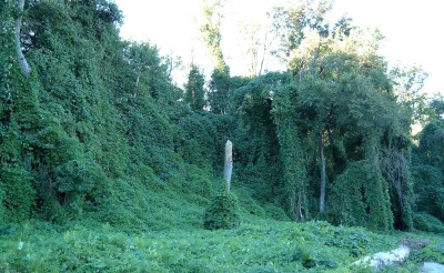 Introduced from Southeast Asia, kudzu takes over everything.