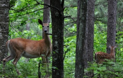 Are deer the underdog predators of the forest? Probably not, but they still splurge on meat once in a while.