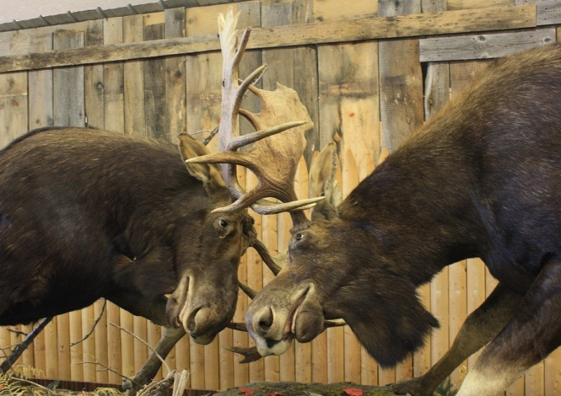 "New Hampshire's ""Forever Locked"" moose display evolved from two bulls found in a state park in 2003."