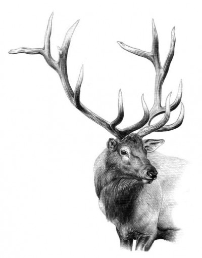 The 8x7 Roosevelt elk Dunn targeted was accompanied by a 17-cow harem. Illustration by Dallen Lambson.