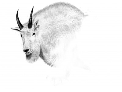 The first year Dunn drew a Washington goat tag was 1969, though it did not yield a successful harvest. Illustration by Dallen Lambson.