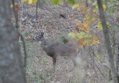 While the buck is focused on the source of the rattling sound, the hunter has time to get ready for a shot without being detected.