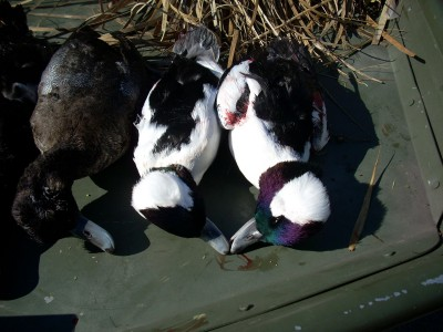 This was from a great hunt for divers, but my buddy had a redhead drake get away from us. The bird dove down and got into the weeds. We looked and looked, but never found it.