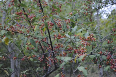 Autum olives are heavy with berries this fall.