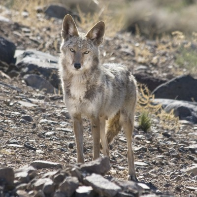 Since mule deer fawns are especially vulnerable to coyotes, wildlife officials hope that the current bounty program will increase deer survival rates.