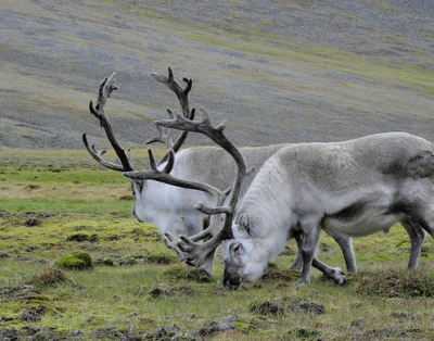 Norway is home to the short-legged Svalbard reindeer. Ancient hunters may have hunted similar creatures.