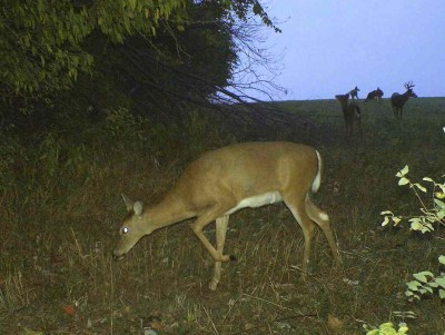As the does return to regular feeding and bedding patterns, bucks will visit the doe groups and check them out.
