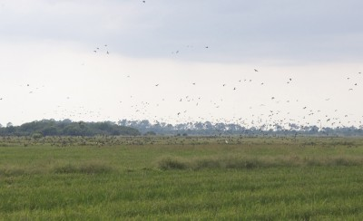 Wave after wave of blue-winged teal flush from the rice fields at Grosse Savanne.