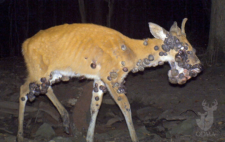 How To Recognize 5 Common Lethal Deer Diseases Outdoorhub