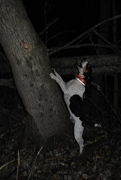 Thunder barks on a tree with a raccoon in it.