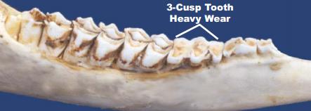 Deer teeth at 1.5 years of age.