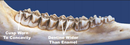 Deer teeth at three years of age. Image courtesy TPWD.
