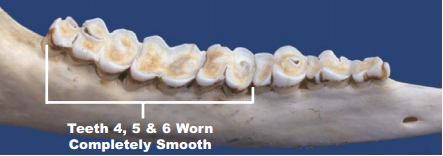 Deer teeth at 8 years of age. Image courtesy TPWD.
