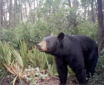 A young black bear has been captured shortly after a Florida woman was rushed to the hospital after a dangerous encounter with a bruin.