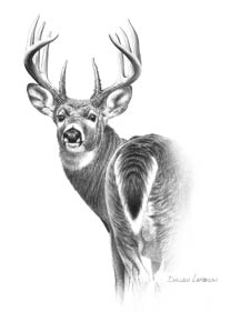 Dunn's second attempt to take a Columbia whitetail buck came on the sixth day of the season in 2007. Illustration by Dallen Lambson.