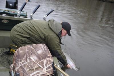 Miles Hanley releases a Kalamazoo River steelhead.