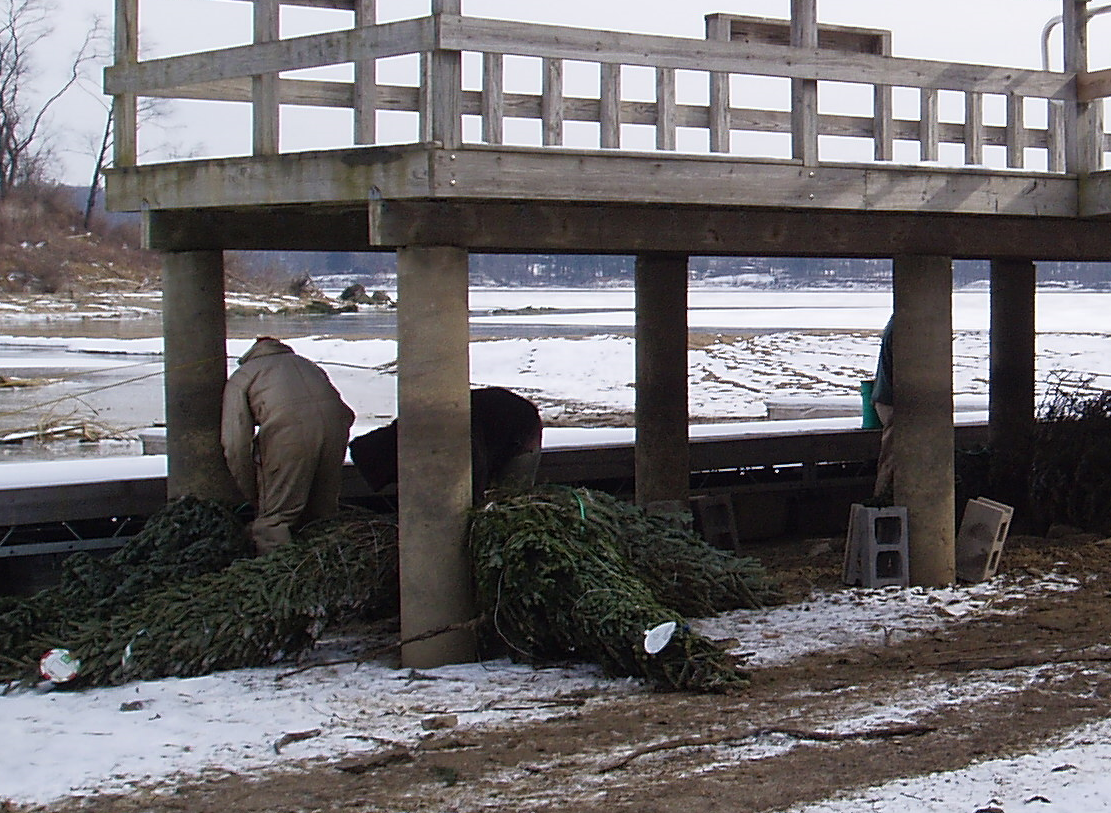 Christmas Trees Recycled For Fish Habitats