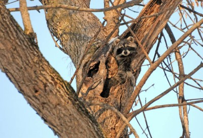 A boar raccoon looks from its den hole in a woodlot north of Watertown.