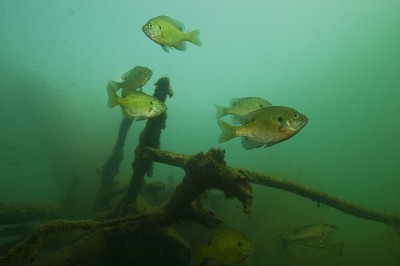 Isolated brush and wood piles attract a bounty of bluegills and bass.
