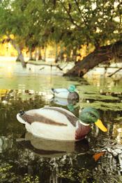 The Swimmer duck decoy