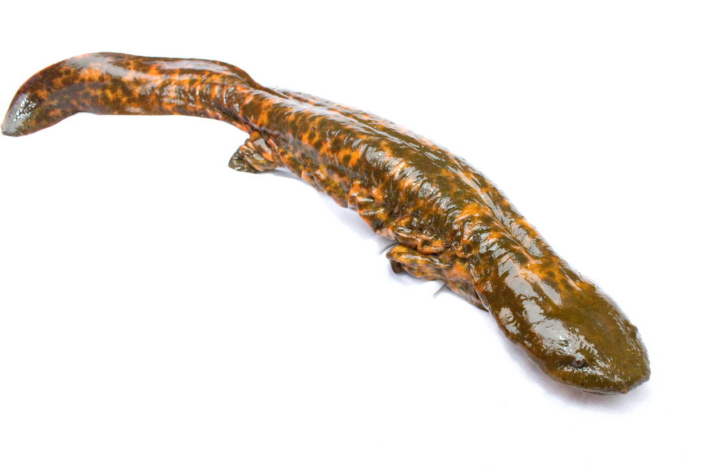 the eastern hellbender the largest north american salamander Scientists at purdue university are trying to give eastern hellbenders (cryptobranchus aleganiensis aleganiensis), the largest salamanders found in north america, a head-start on their lives with wrinkly skin that unfolds as it breathes, the eastern hellbender can grow to be two feet long and live.
