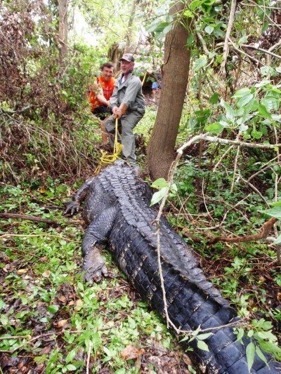 Louisiana alligators have a greater girth than those from Florida, and a 12-footer may way half a ton.