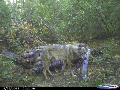 Wolves are abundant in Minnesota where the author hunts deer and bear. He regularly gets pictures of them on his trail cameras and excitedly awaits his opportunity to draw a wolf tag.