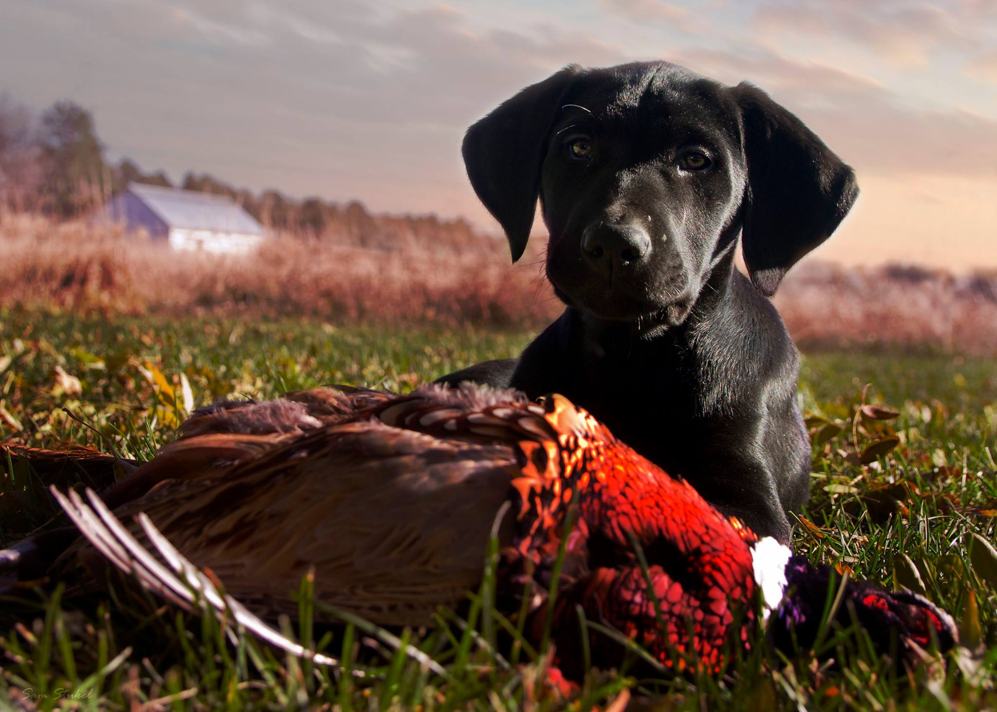 Bird Dogs Flock to the National Pheasant Fest & Quail ...
